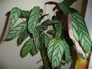 Calathea Blätter Rollen Sich Ein : bl tter rollen sich ein pflanzenkrankheiten sch dlinge green24 hilfe pflege bilder ~ Orissabook.com Haus und Dekorationen