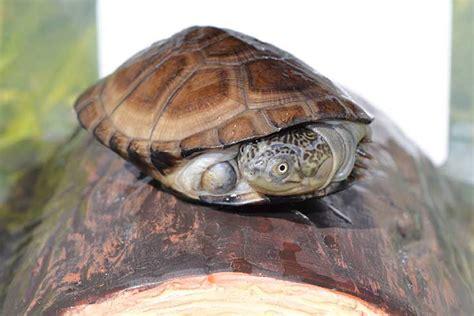 sideneck turtle buy african sideneck turtle hatchling