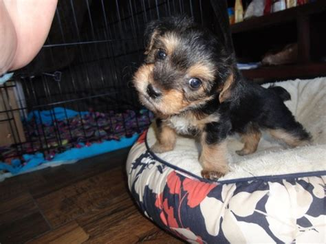 View Ad Yorkie Poo Puppy For Sale North Carolina Huntersville Usa