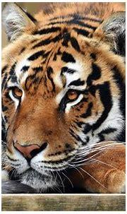 Tiger 4k Ultra HD Wallpaper | Background Image | 3840x2400