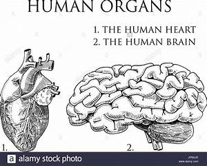 Digestive System Diagram Black And White Stock Photos