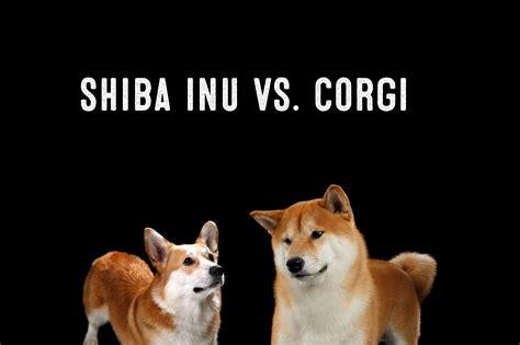 Best 25+ Shiba Inu Corgi Mix Ideas On Pinterest