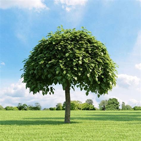 alberi per giardino alberi da giardino alberi latifolie alberi da giardino