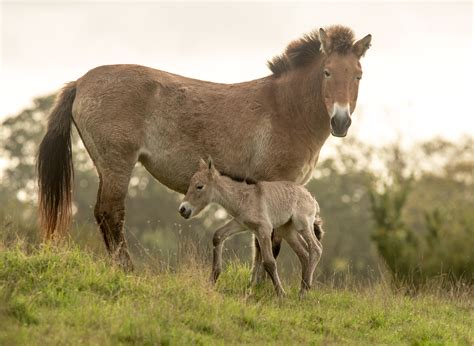 przewalski horse animal wild baby foal horses things lympne port know park endangered cute pony zooborns rare przewalskis herd species