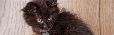 types  black cat breeds petfinder