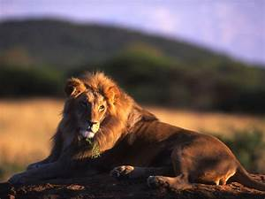 wallpapers: Male Lion Wallpapers