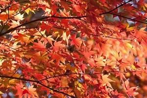 Ahorn Rote Blätter : ahorn acer rote bl tter japan asien runterladen photos ~ Eleganceandgraceweddings.com Haus und Dekorationen