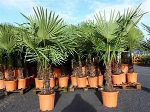 Palmen Kaufen Baumarkt : 180 cm xxl trachycarpus fortunei hanfpalme winterharte palme bis 18 c eur 79 99 picclick de ~ Orissabook.com Haus und Dekorationen