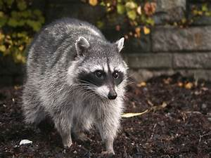 How to Get Rid of Raccoons: Facts, Photos, & Control