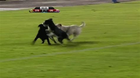 pack  adorable dogs invaded  bolivian soccer game