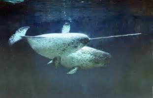 Narwhal and Beluga Whale