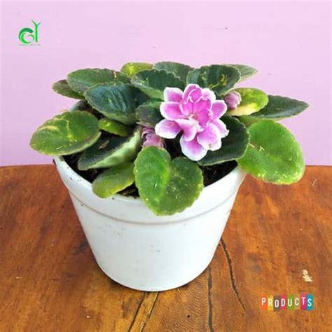 beli disini bisa  tanaman hias violces pink tumpuk