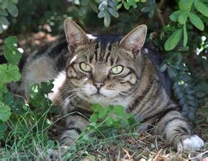 tabby cat personality classic tabby cat photo 2 poc