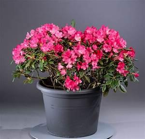 Kleinwüchsige Immergrüne Hecke : rhododendron lampion rhododendron yakushimanum lampion ~ Lizthompson.info Haus und Dekorationen