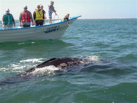 In Pursuit of Grey Whales at a Magdalena Bay Whale ...