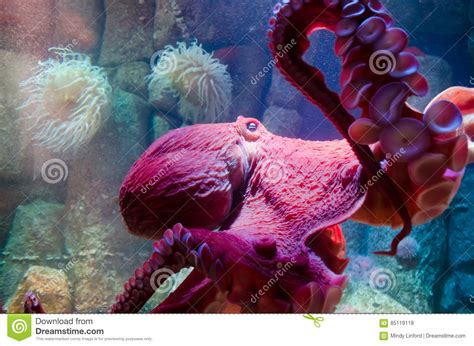 Giant Pacific Octopus Editorial Stock Photo Image Of