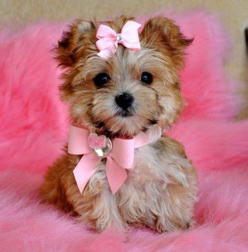 Do Morkie Poos Shed by Dogs That Don T Shed Fact Or Fiction About Morkies