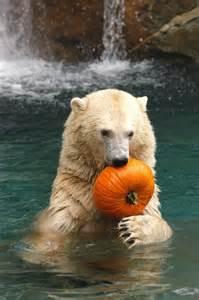 Polar Bear with Pumpkin
