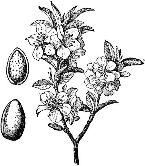 almond tree  fruit clipart