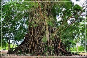 Largest Balete Tree in Asia, Maria Aurora