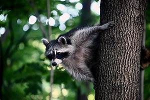 Toronto Raccoons Are About To Become World Famous