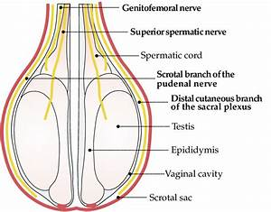 Anatomy Of The Scrotum And Testes Of Lambs