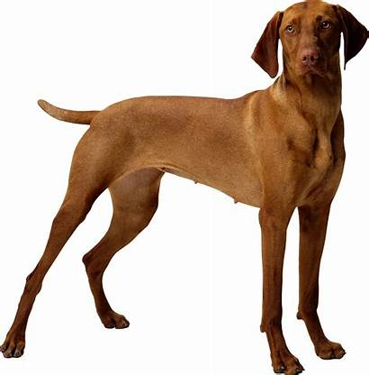 Dog Transparent Anjing Perro Gato Clipart Cachorro