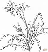 Lily Coloring Pages Flowers Tiger Drawing Hemerocallis Spp Lilies Printable Drawings Supercoloring Flower Lirios Para Colorear Dibujo Lirio Coloringpages101 Gladiolus sketch template