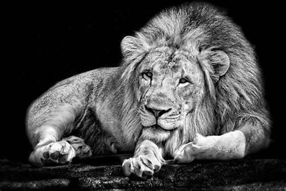 Lion Animals Monochrome Wallpapers Animal Background Desktop