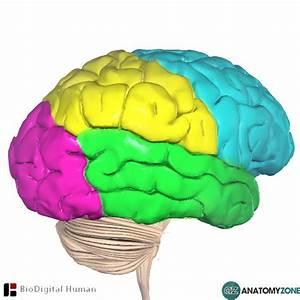 Occipital Lobe  U2022 Nervous System  U2022 Anatomyzone