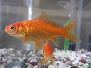 Nourriture Poisson Bassin : les poissons de bassins koi poissons rouges jardin dion ~ Melissatoandfro.com Idées de Décoration