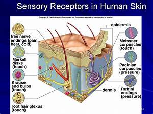 Pin Sense Organs Touch Skin Image Visual Dictionary Online ...