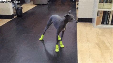 dog wearing shoes   recipe  fun hilariousgifscom