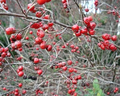 what deciduous tree has berries in winter winter berries