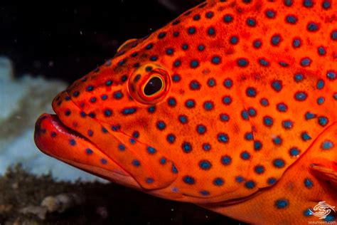 cod coral rock facts grouper hind seaunseen miniatus appearance photographs
