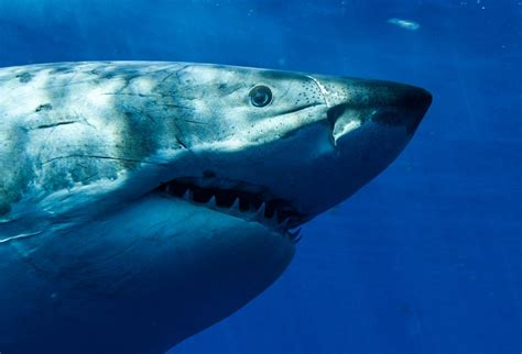 great white shark dive guadalupe island shark cage diving