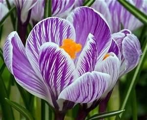 Growing Crocus Bulbs - Crocus Flowers