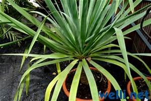 Calla Pflanze Giftig : pflanzen und wellensittiche buchstabe d wellensittich portal ~ Frokenaadalensverden.com Haus und Dekorationen