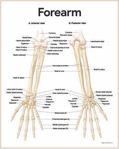 Skeletal System Anatomy Physiology Forearm Bones Arm