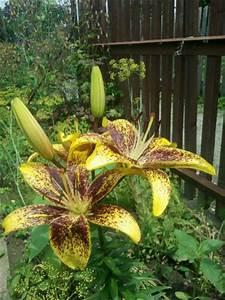 Blumen Im Juli : blumen und bl hende stauden im juli im garten seite 2 ~ Lizthompson.info Haus und Dekorationen