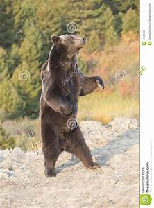 Angry Grizzly Bear Standing Drawing