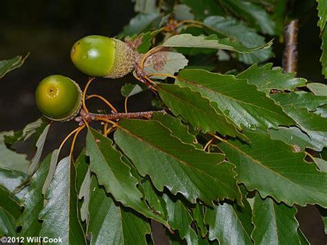 quercus prinus acorn