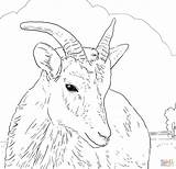 Sheep Coloring Horn Bighorn Female Pages Printable Horns Dall Print Mountain Wild Rocky Drawing Rams Drawings Supercoloring Find Designlooter Dot sketch template