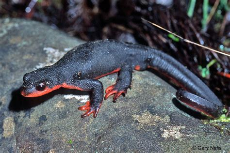 belly newt identifying species of pacific newts genus taricha