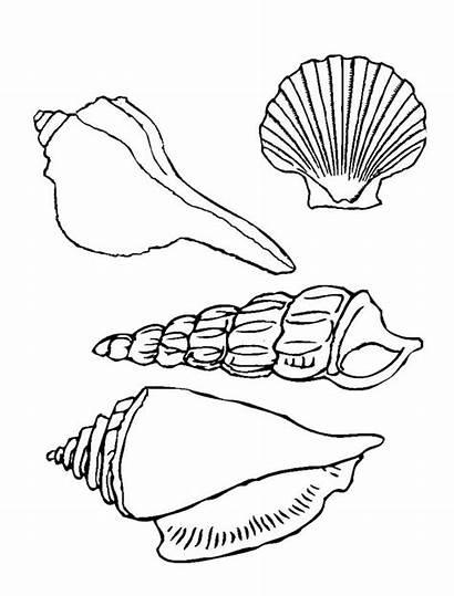 Seashell Shells Coloring Sea Pages Printable Types