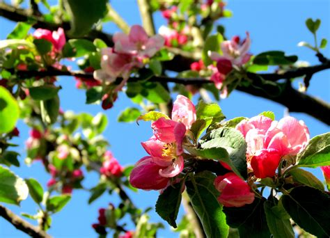 Free Images : apple tree nature branch blossom leaf
