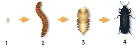 keeping breeding mealworms reptile forums information