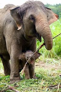 TOP 10 Differences Between African and Asian Elephanths ...