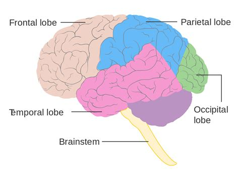 file diagram showing the lobes of the brain cruk 308 svg