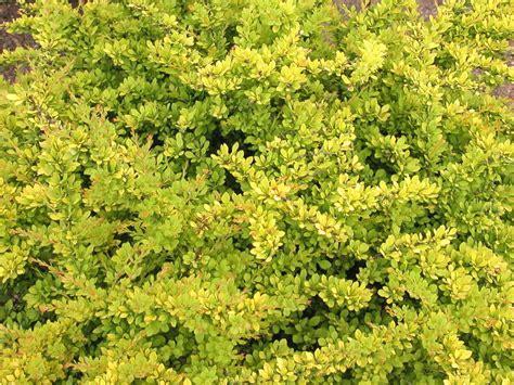 bright bush for landscaping japanese barberry hgtv